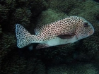 Agincourt-Reef;Agincourt-Reefs;Australasian;Australia;Australian;Barrier-Reef;coral-reef;coral-reefs;Coral-Sea;dive-site;dive-sites;diving;ecosystem;environment;fish;fishes;Great-Barrier-Reef;Great-Barrier-Reef-Marine-Park;Haemulidae;Harlequin-Sweetlip;Harlequin-Sweetlips;Harlequins-Sweetlips;Many-Spotted-Sweetlips;Many_Spotted-Sweetlips;marine;marine-environment;marine-life;marinelife;North-Queensland;Ocean;oceanlife;Oceans;Plectorhinchus-chaetodonoides;Qld;Queensland;reef;reefs;ribbon-reef;ribbon-reefs;ribbonreef;ribbonreefs;scuba-diving;Sea;sealife;Seas;South-Pacific;Tasman-Sea;Tropcial-North-Queensland;tropical-reef;tropical-reefs;under-water;under_water;undersea;underwater;underwater-photo;underwater-photography;underwater-photos;UNESCO-World-Heritage-Site;Wiorld-Heritage-Site;World-Heritage-Area;World-Heritage-Park