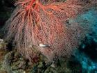 Agincourt-Reef;Agincourt-Reefs;Australasian;Australia;Australian;Barrier-Reef;coral-reef;coral-reefs;Coral-Sea;corals;dive-site;dive-sites;diving;ecosystem;environment;fan-coral;fan-corals;gorgonian-fan-coral;Great-Barrier-Reef;Great-Barrier-Reef-Marine-Park;marine;marine-environment;marine-life;marinelife;North-Queensland;Ocean;oceanlife;Oceans;Qld;Queensland;reef;reefs;ribbon-reef;ribbon-reefs;ribbonreef;ribbonreefs;scuba-diving;Sea;sea-fan;sea-fans;seafan;seafans;sealife;Seas;South-Pacific;Tasman-Sea;Tropcial-North-Queensland;tropical-reef;tropical-reefs;under-water;under_water;undersea;underwater;underwater-photo;underwater-photography;underwater-photos;UNESCO-World-Heritage-Site;Wiorld-Heritage-Site;World-Heritage-Area;World-Heritage-Park