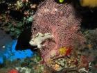 Aethaloperca-rogaa;Agincourt-Reef;Agincourt-Reefs;Australasian;Australia;Australian;Barrier-Reef;coral-reef;coral-reefs;Coral-Sea;corals;dive-site;dive-sites;diving;ecosystem;environment;fan-coral;fan-corals;fish;fishes;gorgonian-fan-coral;Great-Barrier-Reef;Great-Barrier-Reef-Marine-Park;Leaf-Scorpionfish;Leaf-Scorpionfishes;marine;marine-environment;marine-life;marinelife;North-Queensland;Ocean;oceanlife;Oceans;Paperfish;Qld;Queensland;Red_flushed-Rockcod;reef;reefs;ribbon-reef;ribbon-reefs;ribbonreef;ribbonreefs;Sailfin-leaf-fish;Scorpaenidae;Scorpionfish;scorpionfishes;scuba-diving;Sea;sea-fan;sea-fans;seafan;seafans;sealife;Seas;South-Pacific;Taenianotus-triacanthus;Tasman-Sea;Tropcial-North-Queensland;tropical-reef;tropical-reefs;under-water;under_water;undersea;underwater;underwater-photo;underwater-photography;underwater-photos;UNESCO-World-Heritage-Site;Wiorld-Heritage-Site;World-Heritage-Area;World-Heritage-Park
