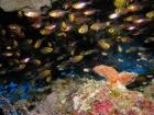 Agincourt-Reef;Agincourt-Reefs;Apogon-hoevenii;Australasian;Australia;Australian;Barrier-Reef;Cardinalfish;Cardinalfishes;cave;caves;coral-reef;coral-reefs;Coral-Sea;dive-site;dive-sites;diving;ecosystem;environment;fish;fishes;Frostfin-cardinalfish;Frostfin-cardinalfishes;Great-Barrier-Reef;Great-Barrier-Reef-Marine-Park;marine;marine-environment;marine-life;marinelife;North-Queensland;Ocean;oceanlife;Oceans;Qld;Queensland;reef;reefs;ribbon-reef;ribbon-reefs;ribbonreef;ribbonreefs;school;schools;scuba-diving;Sea;sealife;Seas;shoal;shoals;South-Pacific;Tasman-Sea;Tropcial-North-Queensland;tropical-reef;tropical-reefs;under-water;under_water;undersea;underwater;underwater-photo;underwater-photography;underwater-photos;UNESCO-World-Heritage-Site;Wiorld-Heritage-Site;World-Heritage-Area;World-Heritage-Park