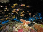 Agincourt-Reef;Agincourt-Reefs;Apogon-hoevenii;Australasian;Australia;Australian;Barrier-Reef;Cardinalfish;Cardinalfishes;cave;caves;coral-reef;coral-reefs;Coral-Sea;dive-site;dive-sites;diving;ecosystem;environment;fish;fishes;Frostfin-cardinalfish;Frostfin-cardinalfishes;Great-Barrier-Reef;Great-Barrier-Reef-Marine-Park;marine;marine-environment;marine-life;marinelife;North-Queensland;Ocean;oceanlife;Oceans;Qld;Queensland;reef;reefs;ribbon-reef;ribbon-reefs;ribbonreef;ribbonreefs;school;schools;scuba-diving;Sea;sealife;Seas;shoal;shoals;South-Pacific;Tasman-Sea;Tropcial-North-Queensland;tropical-reef;tropical-reefs;under-water;under_water;undersea;underwater;underwater-photo;underwater-photography;underwater-photos;UNESCO-World-Heritage-Site;Wiorld-Heritage-Site;World-Heritage-Area;World-Heritage-Park
