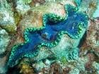Agincourt-Reef;Agincourt-Reefs;Australasian;Australia;Australian;Barrier-Reef;bivalve-mollusc;clam;clams;coral-reef;coral-reefs;Coral-Sea;dive-site;dive-sites;diving;ecosystem;environment;Giant-Clam;Giant-Clams;Great-Barrier-Reef;Great-Barrier-Reef-Marine-Park;iridophores;mantle;marine;marine-environment;marine-life;marinelife;mollusc;molluscs;mollusk;mollusks;North-Queensland;Ocean;oceanlife;Oceans;Outlet-Siphon;Qld;Queensland;reef;reefs;ribbon-reef;ribbon-reefs;ribbonreef;ribbonreefs;scuba-diving;Sea;sealife;Seas;shell-fish;shellfish;South-Pacific;Tasman-Sea;Tropcial-North-Queensland;tropical-reef;tropical-reefs;under-water;under_water;undersea;underwater;underwater-photo;underwater-photography;underwater-photos;UNESCO-World-Heritage-Site;Wiorld-Heritage-Site;World-Heritage-Area;World-Heritage-Park