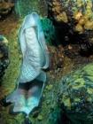 Agincourt-Reef;Agincourt-Reefs;Australasian;Australia;Australian;Barrier-Reef;bivalve-mollusc;clam;clams;coral-reef;coral-reefs;Coral-Sea;dive-site;dive-sites;diving;ecosystem;environment;Giant-Clam;Giant-Clams;Great-Barrier-Reef;Great-Barrier-Reef-Marine-Park;Inlet-Siphon;iridophores;mantle;marine;marine-environment;marine-life;marinelife;mollusc;molluscs;mollusk;mollusks;North-Queensland;Ocean;oceanlife;Oceans;Qld;Queensland;reef;reefs;ribbon-reef;ribbon-reefs;ribbonreef;ribbonreefs;scuba-diving;Sea;sealife;Seas;shell-fish;shellfish;South-Pacific;Tasman-Sea;Tropcial-North-Queensland;tropical-reef;tropical-reefs;under-water;under_water;undersea;underwater;underwater-photo;underwater-photography;underwater-photos;UNESCO-World-Heritage-Site;Wiorld-Heritage-Site;World-Heritage-Area;World-Heritage-Park