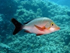 Agincourt-Reef;Agincourt-Reefs;Australasian;Australia;Australian;Barrier-Reef;coral-reef;coral-reefs;Coral-Sea;dive-site;dive-sites;diving;ecosystem;environment;fish;fishes;Great-Barrier-Reef;Great-Barrier-Reef-Marine-Park;Humpback-red-snapper;Humpback-red-snappers;Humpback-redsnapper;Humpback-redsnappers;Humpback-Snapper;Humpback-Snappers;Humphead-snapper;Humphead-snappers;Hunched-snapper;Hunched-snappers;Lutjanidae;Lutjanus-gibbus;marine;marine-environment;marine-life;marinelife;North-Queensland;Ocean;oceanlife;Oceans;Paddle_tail;Paddle_tails;Paddletail;Paddletails;Qld;Queensland;reef;reefs;ribbon-reef;ribbon-reefs;ribbonreef;ribbonreefs;scuba-diving;Sea;sealife;Seas;South-Pacific;Tasman-Sea;Tropcial-North-Queensland;tropical-reef;tropical-reefs;under-water;under_water;undersea;underwater;underwater-photo;underwater-photography;underwater-photos;UNESCO-World-Heritage-Site;Wiorld-Heritage-Site;World-Heritage-Area;World-Heritage-Park