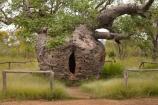 Adansonia-gregorii;Australasian;Australia;Australian;Australian-baobab;baobab-tree;baobab-trees;Boab-Prison-Tree;boab-tree;boab-trees;bottle-tree;bottle-trees;cream-of-tartar-tree;Derby;gadawon;gaol;gaols;gourd_gourd-tree;heritage;historic;historic-place;historic-places;historic-site;historic-sites;historical;historical-place;historical-places;historical-site;historical-sites;history;jail;jails;Kimberley;Kimberley-Region;old;Prison-Boab-Tree;The-Kimberley;tree;trees;W.A.;WA;West-Australia;Western-Australia