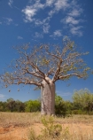 Adansonia-gregorii;Australasia;Australasian;Australia;Australian;Australian-baobab;Australian-Desert;Australian-Outback;back-country;backcountry;backwoods;baobab-tree;baobab-trees;boab-tree;boab-trees;bottle-tree;bottle-trees;country;countryside;cream-of-tartar-tree;d;Derby;gadawon;geographic;geography;gourd_gourd-tree;Great-Northern-Highway;Kimberley;Kimberley-Region;Outback;remote;remoteness;rural;The-Kimberley;tree;tree-trunk;tree-trunks;trees;trunk;trunks;Turkey-Creek;W.A.;WA;Warmun;West-Australia;Western-Australia;wilderness