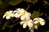 Australasian;Australia;Australian;flower;flowers;fragrant;Frangipani;Kimberley;Kimberley-Region;Kununurra;Plumeria;The-Kimberley;W.A.;WA;West-Australia;Western-Australia