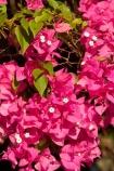 Australasian;Australia;Australian;bougainvillea;flower;flowers;Kimberley;Kimberley-Region;Kununurra;pink;The-Kimberley;W.A.;WA;West-Australia;Western-Australia
