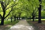 australasia;Australia;australian;avenue;avenues;deciduous;footpath;footpaths;Kings-Domain;Melbourne;park;parkland;parklands;parks;path;paths;Pathway;pathways;tree;Trees;Victoria