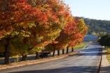 australasia;Australasian;Australia;australian;autuminal;autumn;autumn-colour;autumn-colours;autumnal;Batlow;color;colors;colour;colours;deciduous;fall;leaf;leaves;Memorial-Avenue;N.S.W.;New-South-Wales;NSW;oak;oak-tree;oak-trees;oaks;red;season;seasonal;seasons;Snowy-Mountains;Snowy-Mountains-Drive;South-New-South-Wales;South-West-Slopes;Southern-New-South-Wales;tree;trees