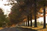 Alpine-Way;Australia;autuminal;autumn;autumn-colour;autumn-colours;autumnal;avenue;avenues;color;colors;colour;colours;deciduous;fall;Khancoban;leaf;leaves;N.S.W.;New-South-Wales;NSW;oak;oak-tree;oak-trees;oaks;road;roads;season;seasonal;seasons;Snowy-Mountains;Snowy-Mountains-Drive;South-New-South-Wales;Southern-New-South-Wales;tree;trees