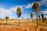 Allocasuarina-decaisneana;Anugu;arid;Australasia;Australia;Australian;Australian-Desert;Australian-Deserts;back-country;backcountry;Desert;Desert-Oak;Desert-Oaks;Deserts;Kurkara;N.T.;National-Park;National-Parks;Northern-Territory;NT;Outback;red-centre;The-Outback;Uluru-_-Kata-Tjuta-National-Park;Uluru-_-Kata-Tjuta-World-Heritage-Area;UNESCO;Unesco-world-heritage-area;World-Heritage-Area;World-Heritage-Areas