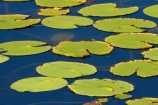 Adelaide-River;Australasia;Australia;dam;dams;lillies;lilly;lilly-pad;lilly-pads;lilly-pond;lilly-ponds;N.T.;Northern-Territory;NT;pond;ponds;reservoir;reservoirs;Top-End;water