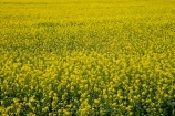 agricultural;agriculture;Australasian;Australia;Australian;Barossa-Valley;canola;country;countryside;crop;crops;farm;farming;farmland;farms;field;fields;flower;flowers;horticulture;meadow;meadows;paddock;paddocks;rural;S.A.;SA;South-Australia;yellow