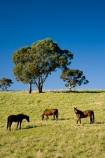 Australasian;Australia;Australian;Barossa-Valley;country;countryside;equestrian;eucalypt;eucalypts;eucalyptus;eucalytis;farm;farming;farmland;farms;field;fields;gum;gum-tree;gum-trees;gums;horse;horses;meadow;meadows;paddock;paddocks;pasture;pastures;rural;S.A.;SA;South-Australia;stock;tree;trees