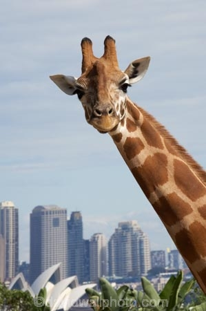 animal;animals;architectural;architecture;Australasia;Australia;Bennelong-Point;c.b.d.;cbd;central-business-district;cities;city;cityscape;cityscapes;Giraffa-camelopardalis;giraffe;giraffes;high-rise;high-rises;high_rise;high_rises;highrise;highrises;icon;iconic;icons;landmark;landmarks;mammal;mammals;multi_storey;multi_storied;multistorey;multistoried;N.S.W.;New-South-Wales;NSW;office;office-block;office-blocks;offices;Opera-House;sky-scraper;sky-scrapers;sky_scraper;sky_scrapers;skyscraper;skyscrapers;Sydney;Sydney-Opera-House;Sydney-Zoo;Taronga-Zoo;tower-block;tower-blocks;wildlife;zoo;zoos