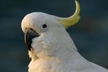 sulfer;sulfur;crested;cockatoo;australia;australian;sydney;wildlife;animal;bird;birds;feather;feathers;beak;indigenous;native;endemic