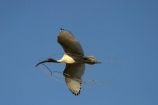 australia;australian;sydney;wildlife;animal;bird;birds;feather;feathers;beak;indigenous;native;endemic;ibis;Threskiornis-molucca;flight;fly;flying;soar