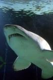 shark;underwater;under_water;fish;danger;dangerous;predator;predators;terror;terrifying;scary;swim;swims;swimming