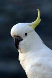 sulfer;sulphur;sulpher;sulfur;crested;cockatoo;australia;australian;sydney;wildlife;animal;bird;birds;feather;feathers;beak;indigenous;native;endemic