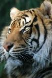 tiger;tigers;striped;stripes;wildlife;animal;animals;endangered;threatened;rare;panthera-tigris-sumatrae;taronga;zoo;sydney;australia;teeth;tooth;danger;dangerous;snap;bite;bitten;sharp;fear;predator;predators;terror;terrifying;scary;cat;cats