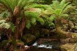 Australasian;Australia;Australian;brook;brooks;cascade;cascades;creek;creeks;Derwent-Valley;falls;fern;ferns;flora;flow;forest;forestry;forests;frond;fronds;green;Island-of-Tasmania;lush;Mount-Field-N.P.;Mount-Field-National-Park;Mount-Field-NP;Mt-Field-N.P.;Mt-Field-National-Park;Mt-Field-NP;native-bush;natural;nature;outdoor;outdoors;Russell-Falls;scene;scenic;State-of-Tasmania;stream;streams;Tas;Tasmania;undergrowth;water;water-fall;water-falls;watercourse;waterfall;waterfalls;wet