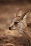animal;animals;Australasian;Australia;Australian;Eastern-Grey-Kangaroo;Eastern-Grey-Kangaroos;Forester-Kangaroo;Forester-Kangaroos;gray-kangaroo;gray-kangaroos;Great-Grey-Kangaroo;Grey-Kangaroo;Grey-Kangaroos;head;heads;Island-of-Tasmania;kangaroo;kangaroos;Macropodidae;Macropus-giganteus;Macropus-giganteus-tasmaniensis;mammal;mammals;Marsupial;Marsupials;marsupium;Nature;portrait;portraits;pouch;skippy;Southern-Tasmania;State-of-Tasmania;Tas;Tasman-Peninsula;Tasmania;Tasmanian-Devil-Conservation-Park;Wild;Wildlife;Zoology