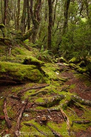 Australasian;Australia;Australian;beautiful;beauty;bush;Cradle-Mountain-_-Lake-St-Clair-National-Park;Cradle-Mt-_-Lake-St-Clair-National-Park;Enchanted-Walk;endemic;forest;forests;green;hiking-track;hiking-tracks;Island-of-Tasmania;lush;moss;mossy;native;native-bush;natural;nature;Pencil-Pine-Track;scene;scenic;State-of-Tasmania;Tas;Tasmania;The-Enchanted-Walk;The-West;tramping-tack;tramping-tracks;tree;trees;verdant;walking-track;walking-tracks;West-Tasmania;Western-Tasmania;wood;woods