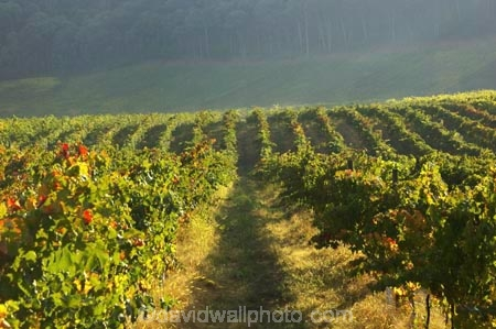 agricultural;agriculture;australasian;Australia;australian;autumn;boynton-vineyard;boynton-winery;Boyntons-of-Bright-winery;Boyntons-of-Bright;bright;country;countryside;crop;crops;cultivation;fall;farm;farming;farmland;farms;field;fields;grape;grapes;grapevine;horticulture;porepunkah;row;rows;rural;Victoria;vine;vines;vineyard;vineyards;vintage;wine;wineries;winery;wines