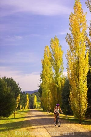 australasia;Australia;australian;autumn;autumn-colour;autumn-colours;autumnal;autumninal;avenue;avenues;bicycle;bicycles;bike;bikes;boulevard;boulevards;Bright;color;colors;colour;colours;cycle;cycler;cyclers;cycles;cyclist;cyclists;deciduous;fall;fall-color;fall-colors;foliage;golden;leaf;leaves;mountain-bike;mountain-biker;mountain-bikers;mountain-bikes;mtn-bike;mtn-biker;mtn-bikers;mtn-bikes;Murray-to-the-Mountains-Rail-Tr;poplar;poplar-tree;poplar-trees;poplars;rail-trail;rail-trails;tourism;travel;tree;trees;Victoria;yellow