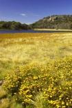 alpine;australasia;australia;australian;australian-alps;lake;lake-catani;lakes;mount-buffalo-n.p.;mount-buffalo-national-park;mount-buffalo-np;mt-buffalo-n.p.;mt-buffalo-national-park;mt-buffalo-np;mt.-buffalo-n.p.;mt.-buffalo-national-park;mt.-buffalo-np;victoria;victorian-alps;wild-flower;wild-flowers;yellow