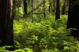 australasia;australia;australian;beautiful;beauty;bush;endemic;eucalypt;eucalypts;eucalyptus;eucalytis;fern;ferns;forest;forests;green;gum;gum-tree;gum-trees;gums;lush;mount-buffalo-n.p.;mount-buffalo-national-park;mount-buffalo-np;mt-buffalo-n.p.;mt-buffalo-national-park;mt-buffalo-np;mt.-buffalo-n.p.;mt.-buffalo-national-park;mt.-buffalo-np;native;native-bush;natives;natural;nature;scene;scenic;timber;tree;tree-trunk;tree-trunks;trees;trunk;trunks;verdant;victoria;wood;woods