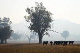 agricultural;agriculture;air-pollution;air-polutants;air-quality;airshed;airsheds;animal;animals;atmosphere;Australia;bad-air-quality;burnoff;burnoffs;bush-fire;bush-fires;bush_fire;bush_fires;bushfire;bushfires;calves;carbon-footprint;cattle;Corryong;country;countryside;cow;cows;Eastern-Victoria;emissions;emit;emsision;environment;eucalypt;eucalypts;eucalyptus;eucalytis;farm;farming;farmland;farms;field;global-warming;greenhouse-gas;greenhouse-gases;gum;gum-tree;gum-trees;gums;haze;hazey;hazy;Herbivore;Herbivores;Herbivorous;high-pollution-day;high-pollution-days;hill;hills;Livestock;mammal;mammals;meadow;meadows;paddock;paddocks;pasture;pastures;pollute;polluting;pollution;poor-air-quality;rural;smog;smoggy;smoke;smokey;smoky;stock;tree;trees;VIC;Victoria