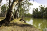 Australia;australian;barmah-state-forest;Barmah-State-Park;beautiful;beauty;bush;endemic;eucalypt;eucalypts;eucalyptus;eucalytis;forest;forests;green;gum;gum-tree;gum-trees;gums;murray-river;native;native-bush;natives;natural;nature;red-gum;red-gums;river;rivers;scene;scenic;timber;tree;tree-trunk;tree-trunks;trees;trunk;trunks;Victoria;wood;woods