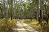 Australia;australian;barmah-state-forest;Barmah-State-Park;beautiful;beauty;bush;countryside;dusty;endemic;eucalypt;eucalypts;eucalyptus;eucalytis;forest;forests;gravel-road;gravel-roads;green;gum;gum-tree;gum-trees;gums;metal-road;metal-roads;metalled-road;metalled-roads;native;native-bush;natives;natural;nature;red-gum;red-gums;road;roads;rural;scene;scenic;timber;track;tracks;tree;tree-trunk;tree-trunks;trees;trunk;trunks;Victoria;wood;woods