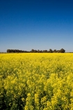 agricultural;agriculture;Australasian;Australia;Australian;Bendigo;blue;canola;color;colors;colour;colours;country;countryside;crop;crops;farm;farming;farmland;farms;field;fields;horticulture;paddock;paddocks;Rapeseed-Field;rural;Vic;Victoria;yellow