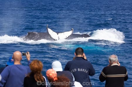 Animal;Animals;australia;australian;blow-hole;blow-holes;blow_hole;blow_holes;blowhole;blowholes;boat;boats;Cetacean;Cetaceans;Coast;fin;fins;flipper;flippers;head;heads;hervey-bay;humpback;Humpback-Whale;humpbacks;Marine-life;Marine-mammal;Marine-mammals;Megaptera-novaeangliae;Nature;ocean;oceans;pacific-ocean;Power;queensland;Sea;Sea-mammal;Sea-mammals;seas;splash;splashes;splashing;spray;sprays;tail;tails;tasman-sea;tourism;tourists;travel;view;Water;Whale;whale-tail;whale-tails;whale-watch;whale-watchers;whale-watching;whale_watch;whale_watchers;whale_watching;Whales