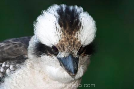 Animal;animals;australasian;australia;australian;Avian;beak;beaks;Bird;birds;Brown-Kingfisher;Close-up;cookaburra;cookaburras;Dacelo-gigas;Dacelo-novaeguineae;Fauna;Feather;Giant-Kingfisher;Habitat;kingfisher;kingfishers;kookaburra;kookaburras;Laughing-Jackass;Laughing-Jackasses;Laughing-Kingfisher;laughing-kookaburra;laughing-kookaburras;Natural;Nature;Oceania;Ornithology;Oz;Perch;Perching;Plumage;Portrait;wild;Wildlife;Wing