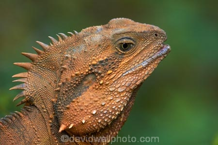 animal;animals;Aus;Australia;Australian;close-up;close_up;creature;dragon;dragons;eastern-water-dragon;eastern-water-dragons;herpetoculture;herpetoid;herpetologist;herpetology;herpeton;Intellagama;Intellagama-lesueurii;lizard;lizards;Physignathus-lesueurii;Physignathus-lesueurii-lesueuri;QLD;Queensland;reptile;reptiles;reptilian;scale;skin;texture;tropical;vertebrate;water-dragon;water-dragons