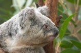 Animal;Animals;Australia;australian;climb;climbs;Close-up;Close_up;currumbin;currumbin-wildlife-sanctuary;eucalyptus;face;fur;furry;gold-coast;gum-tree;Koala;Koalas;Mammal;Mammals;Marsupial;Marsupials;Nature;Oceania;Phascolarctos;Phascolarctos-cinereus;queensland;tree;trees;Wild;Wildlife;zoo;Zoology