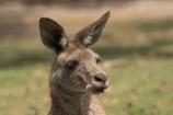 Animal;Animals;australasia;Australia;australian;austrlian;eastern-gray-kangaroo;eastern-gray-kangaroos;gray-kangaroo;gray-kangaroos;Grey-Kangaroo;Grey-Kangaroos;Kangaroo;Kangaroos;Macropus-giganteus;Mammal;Mammals;Marsupial;Marsupials;Nature;Wild;Wildlife;Zoology;skippy