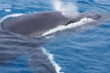 Animal;Animals;australia;australian;blow-hole;blow-holes;blow_hole;blow_holes;blowhole;blowholes;Cetacean;Cetaceans;Coast;fin;fins;flipper;flippers;head;heads;hervey-bay;humpback;Humpback-Whale;humpbacks;Marine-life;Marine-mammal;Marine-mammals;Megaptera-novaeangliae;Nature;ocean;oceans;pacific-ocean;Power;queensland;Sea;Sea-mammal;Sea-mammals;seas;splash;splashes;splashing;spray;sprays;tasman-sea;Water;Whale;Whales