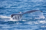 Animal;Animals;australia;australian;Cetacean;Cetaceans;Coast;dive;hervey-bay;humpback;Humpback-Whale;humpbacks;Marine-life;Marine-mammal;Marine-mammals;Megaptera-novaeangliae;Nature;ocean;oceans;pacific-ocean;Power;queensland;Sea;Sea-mammal;Sea-mammals;seas;Tail;Tails;tasman-sea;Water;Whale;Whales