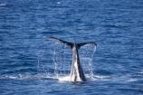 Animal;Animals;australia;australian;Cetacean;Cetaceans;Coast;dive;hervey-bay;humpback;Humpback-Whale;humpbacks;Marine-life;Marine-mammal;Marine-mammals;Megaptera-novaeangliae;Nature;ocean;oceans;pacific-ocean;Power;queensland;Sea;Sea-mammal;Sea-mammals;seas;splash;splashes;splashing;Tail;Tails;tasman-sea;Water;Whale;Whales