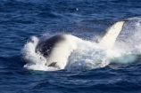 Animal;Animals;australia;australian;big;breach;breaches;breaching;Cetacean;Cetaceans;Coast;dive;fin;fins;flipper;flippers;giant;gigantic;harvey;head;heads;hervey-bay;huge;humpback;Humpback-Whale;humpbacks;jump;jumping;Marine-life;Marine-mammal;Marine-mammals;Megaptera-novaeangliae;Nature;ocean;oceans;pacific-ocean;Power;queensland;Sea;Sea-mammal;Sea-mammals;seas;spectacular;splash;splashes;splashing;Tail;Tails;tasman-sea;Water;Whale;whale-watch;whale-watching;whale_watch;whale_watching;Whales