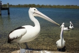 Animal;Animals;Aquatic-bird;Aquatic-birds;Australia;australian;Australian-pelican;beak;bill;bird;birds;Marine-bird;Marine-birds;Nature;New-South-Wales;Oceania;ornithology;Pelecanus-conspicillatus;Pelican;Pelicans;queensland;tweed-heads;unusual;water;Web_footed;Wild;Wildlife;Zoology