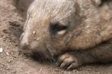 Animal;Animals;Australia;australian;Mammal;Mammals;marsupial;marsupials;Nature;queensland;Wild;Wildlife;Zoology