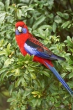 Animal;animals;Ara;australia;australian;Avian;Beak;Bird;birds;Blue;Bright;Close-up;Color;Colored;Colorful;Colors;Colour;Coloured;Colourful;Colours;crimson-rosella;Crimson-Rosellas;currumbin;Exotic;Fauna;Feather;Habitat;lamington-national-park;Natural;Nature;OReillys-Rainforest;Oceania;Ornithology;Oz;Parrot;parrots;Perch;Perching;Platycercus-elegans;Plumage;Portrait;queensland;Red;rosella;rosellas;Vivid;wild;Wildlife;Wing