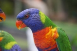 animal;animals;australia;australian;Bird;birds;Color;Colored;Colorful;Colors;Colour;Coloured;Colourful;Colours;currumbin;Nature;Ornithology;Parrot;parrots;Perching;queensland;Rainbow-Lorikeet;rainbow-lorikeets;Trichoglossus-Haematodus;wild;wildlife