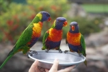 animal;animals;australia;australian;Bird;bird-in-the-hand;birds;Color;Colored;Colorful;Colors;Colour;Coloured;Colourful;Colours;currumbin;feed;feeding;Nature;Ornithology;Parrot;parrots;Perching;queensland;Rainbow-Lorikeet;rainbow-lorikeets;tame;Trichoglossus-Haematodus;wild;wildlife